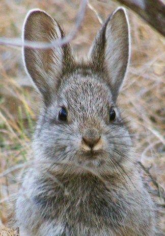 Pygmy Rabbit | Bunnies...