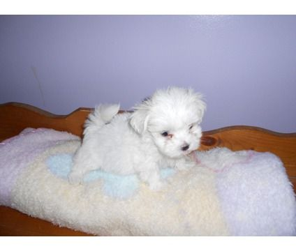 maltese dog for sale in nc to download maltese dog for sale in nc just ...