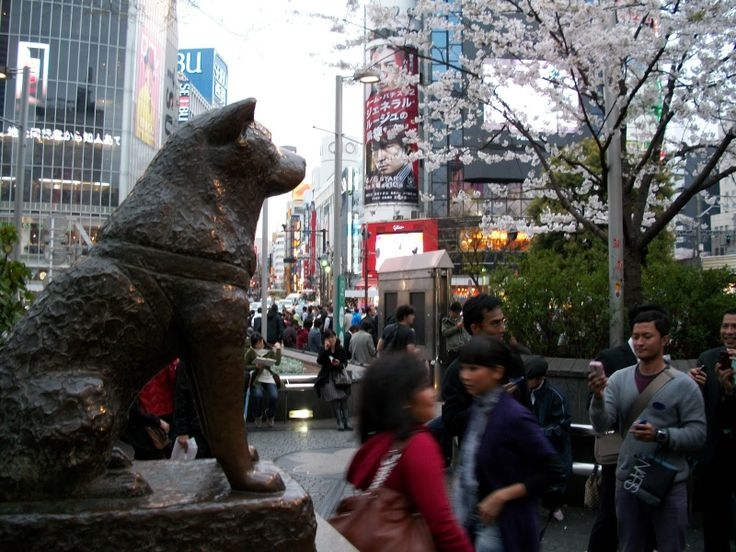 The Hachikō statue outside Shibuya Station, a dog who belonged to a Tokyo University professor in the 1920s. Every day, the professor would go to work, and every day Hachiko would meet his master at Shibuya Station to walk home with him. One day the professor suffered a cerebral hemorrhage at work and died, never meeting Hachikō at his usual time at the station...Hachikō attracted the attention of other commuters. Many of the people who frequented the Shibuya train station had seen Hachikō and Professor Ueno together each day. They brought Hachikō treats and food to nourish him during his wait. This continued for nine years with Hachikō appearing precisely when the train was due at the station...