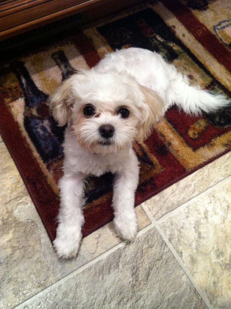 Creative  Ideas And More Cas Shih Poo Style Haircut Styles God I Want Haircuts