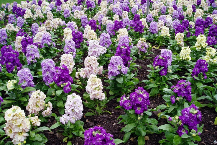 Top 28 purple flower bed red pink white purple flower for Beautiful flower beds