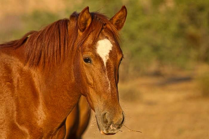 very red chestnut horse horses fire pinterest