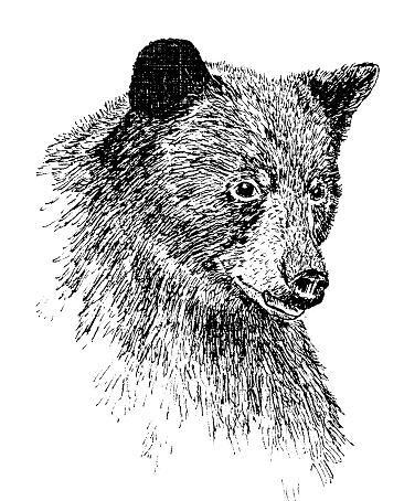 Drawing Animals in Pen and Ink   Sketch?   Pinterest