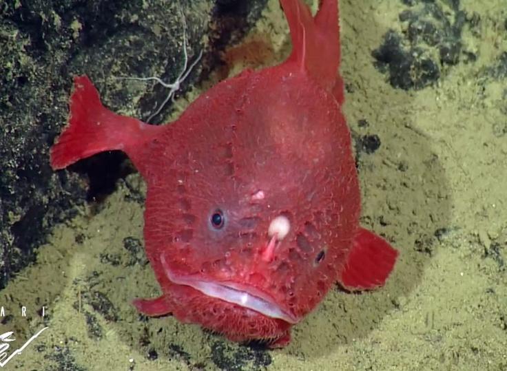 Rare deep-sea anglerfish Sea Life Pinterest