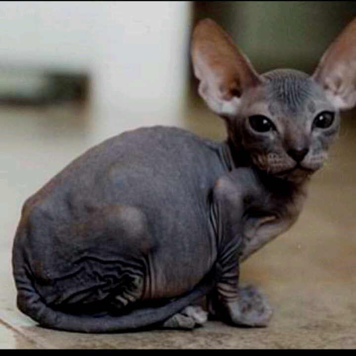 baby hairless cats