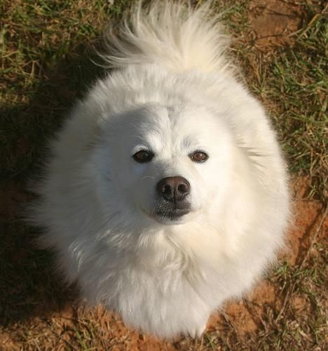 Miniature American Eskimo Dog- I had one we called Rocky, and he was ...