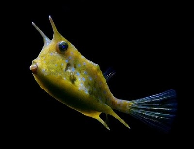 Cowfish animals of all sorts Pinterest