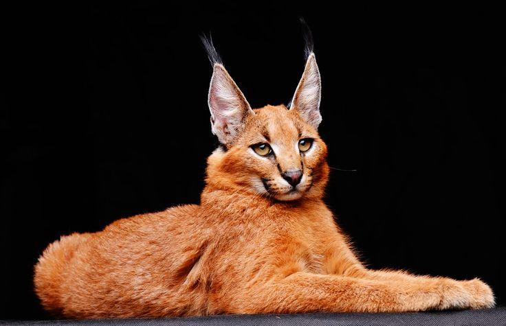 Caracal (Desert Lynx) ...