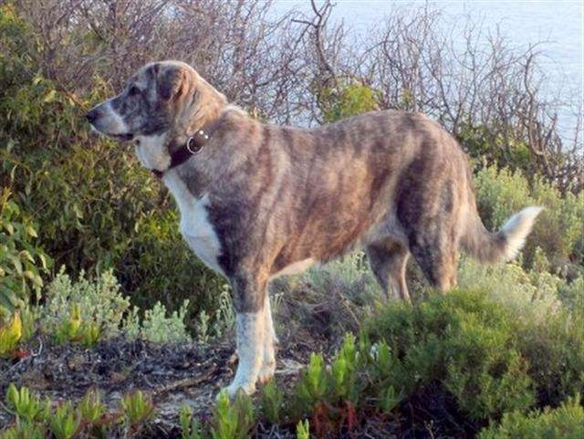 Rafeiro do Alentejo | Dogs ~ and Puppies ~ A Dog's Tale | Pinterest