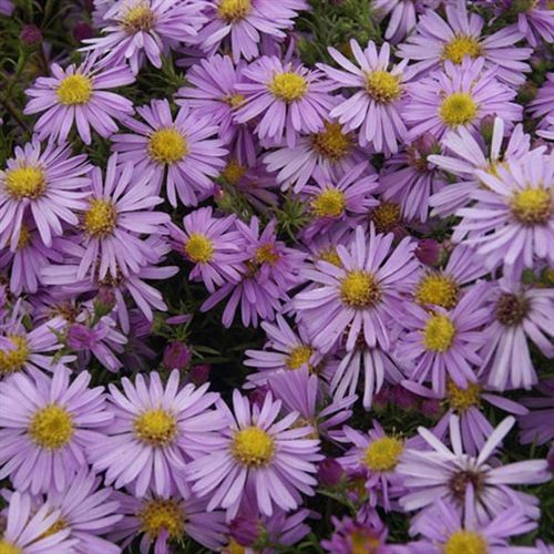 Aster Woods Purple New England Aster Perennial Flowers