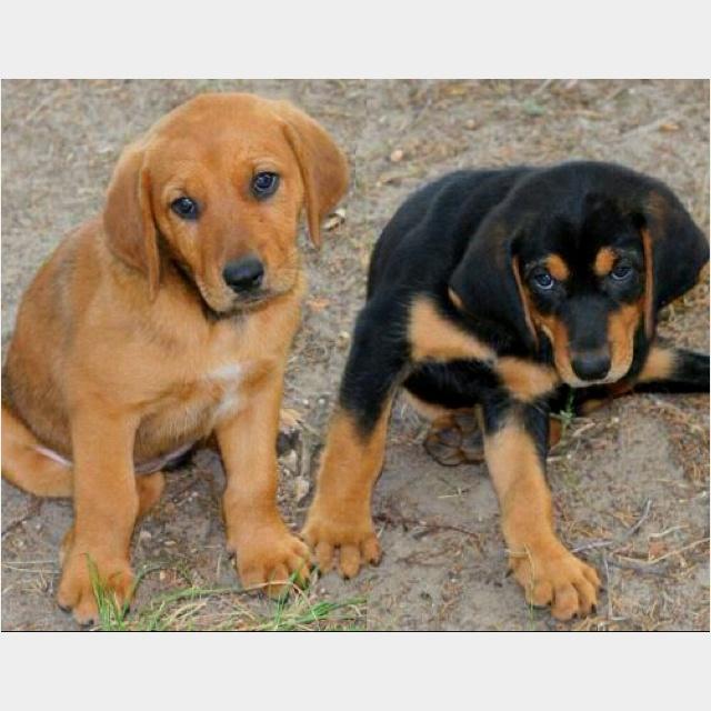 Black Lab Bloodhound Mix Lab-bloodhound mix