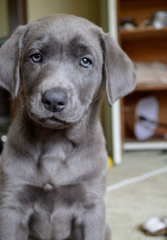 GREY LAB! THIS WILL 100000% BE MY PUPPY WHEN IM OLDER