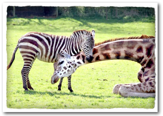 zebras and giraffes - photo #6