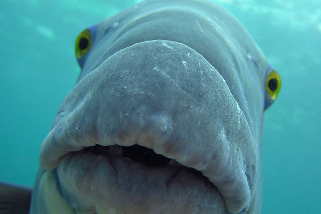 Hilarious close up of a blue groper nose pinterest for Big nose fish