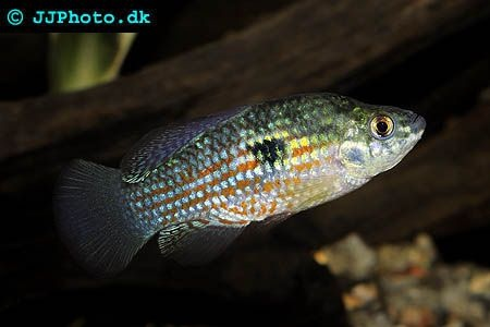 Pin by scott stafford on tropical fish freshwater for Fish native to florida