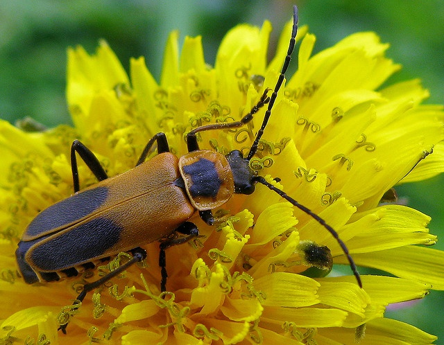 Goldenrod Soldier Beetle Family  Cantharidae  Species  Chauliognathus    Goldenrod Soldier Beetle