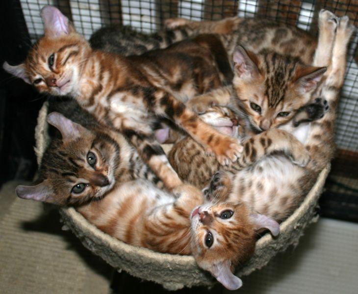 mokave kitten cats mokave jag cat pinterest
