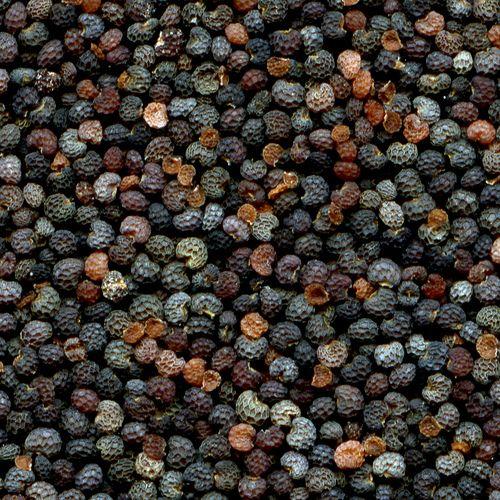 papaver somniferum seedlings - photo #8