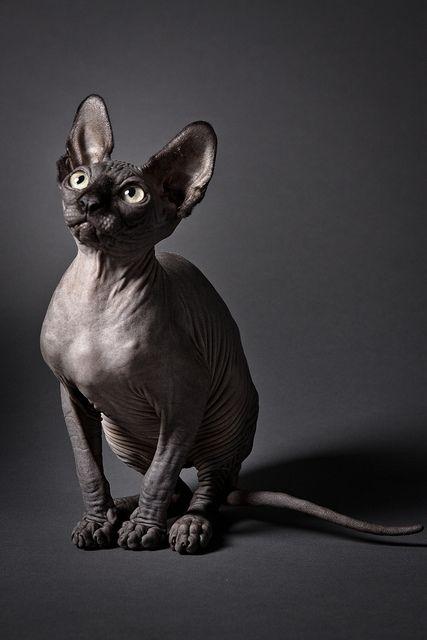 Black Hairless Sphynx Cat