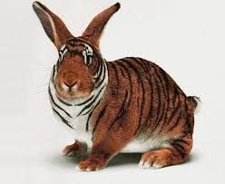 Tiger Rabbit