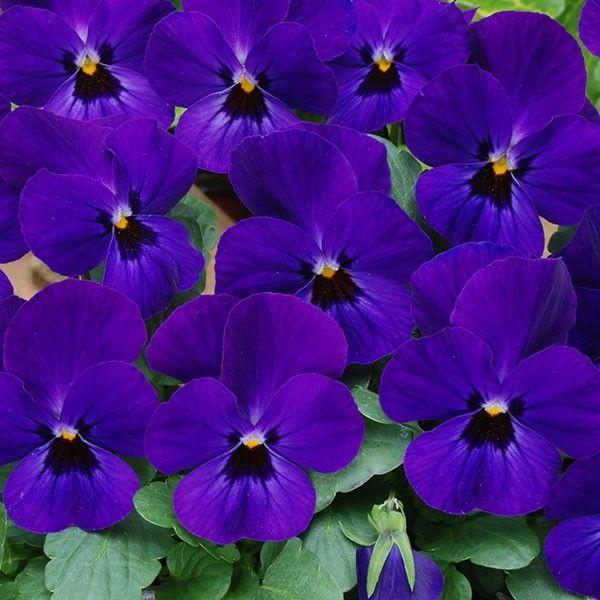 Viola Sorbet XP Blue Blotch (6 plants)