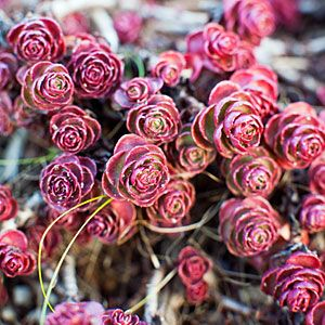 Sedum spurium 'Voodoo' - a colorful succulent that looks much like a real flower!