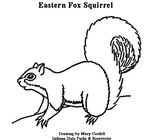 free printable squirrel pattern squirrel color picture index of - Realistic Squirrel Coloring Pages