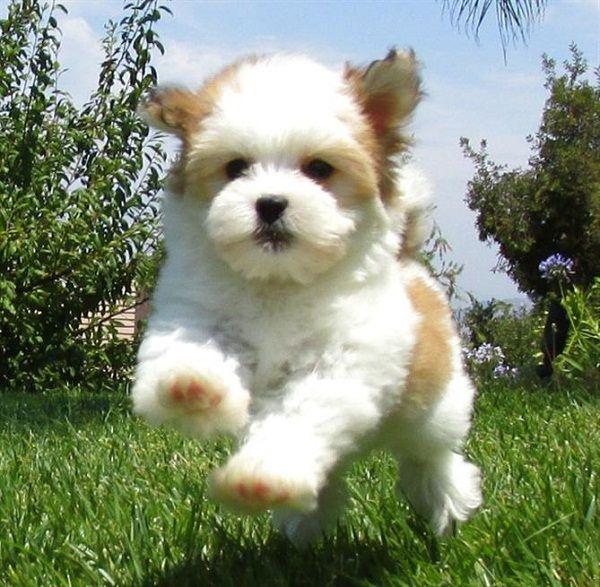 teacup havanese puppies   Zoe Fans Blog   Cute Baby ...