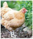 187 Free Chicken Coop Plans; how to raise chickens in your backyard