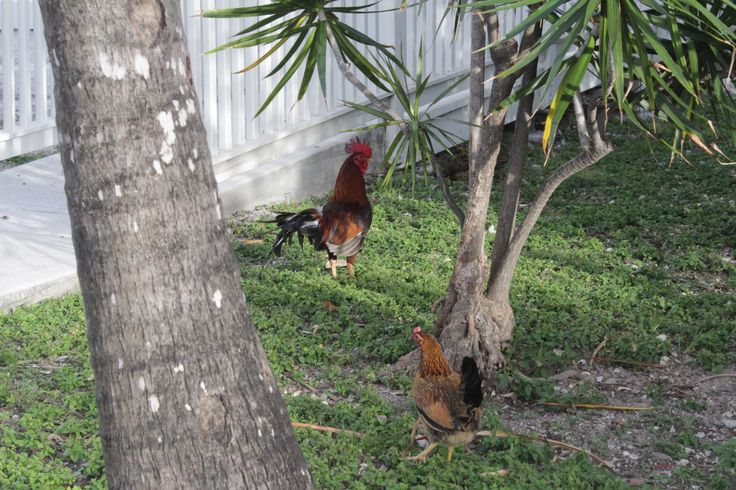 gypsy chickens of key west chickens roam all over the island roosters ...