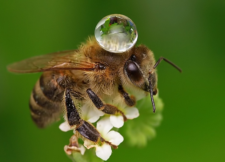 A droplet of water resting on a honey bee