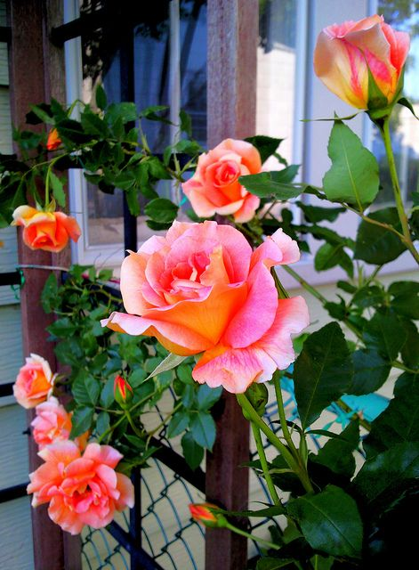 Joseph's Coat climbing rose - so beautiful at the window