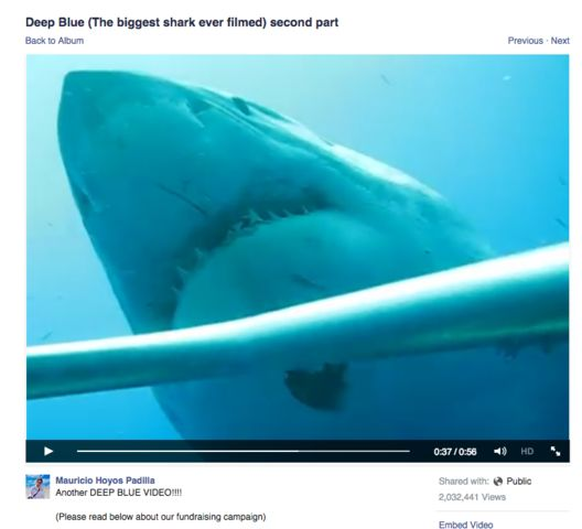 What climate do great white sharks require
