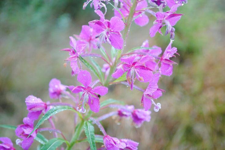 Purple Wild Flower Bloom Pinterest