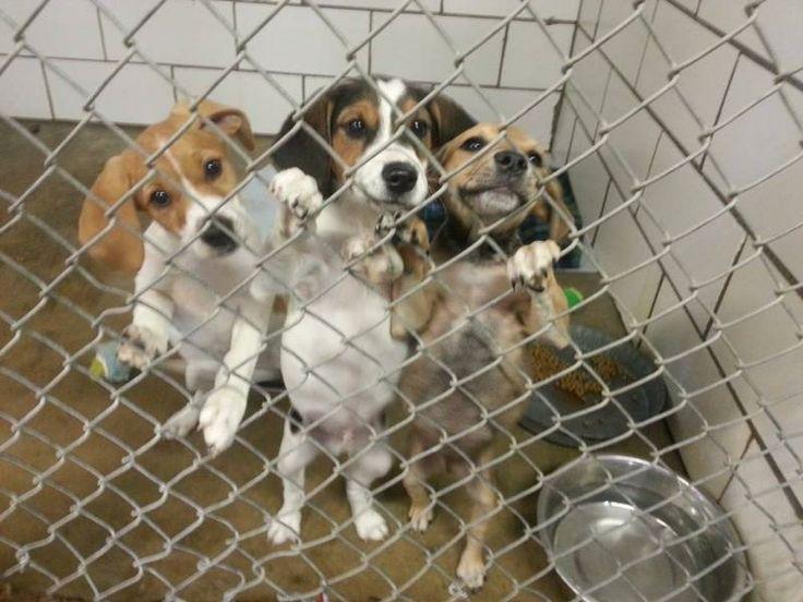 Laddie Adoptable Dog Ohio