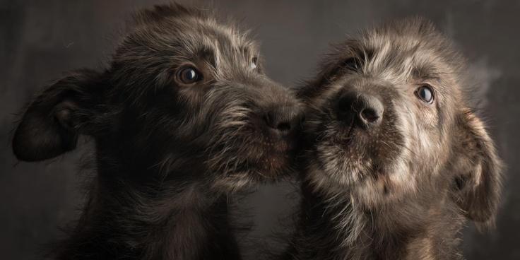 L'Irish Wolfhound 4d42623e8132f2b645025e09c1ff3a77
