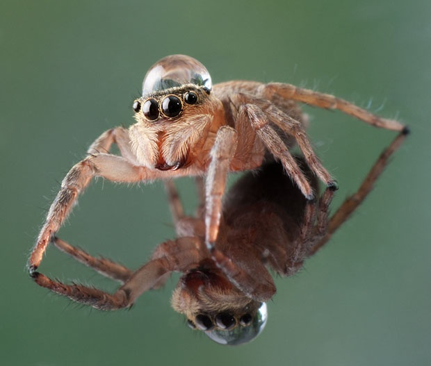 Jumping spider water hat - photo#7