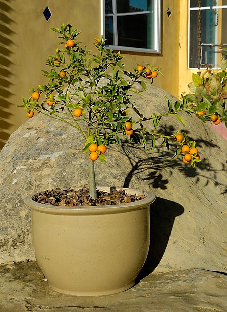 Container Gardening Blog Carnival: Meiwa Kumquat