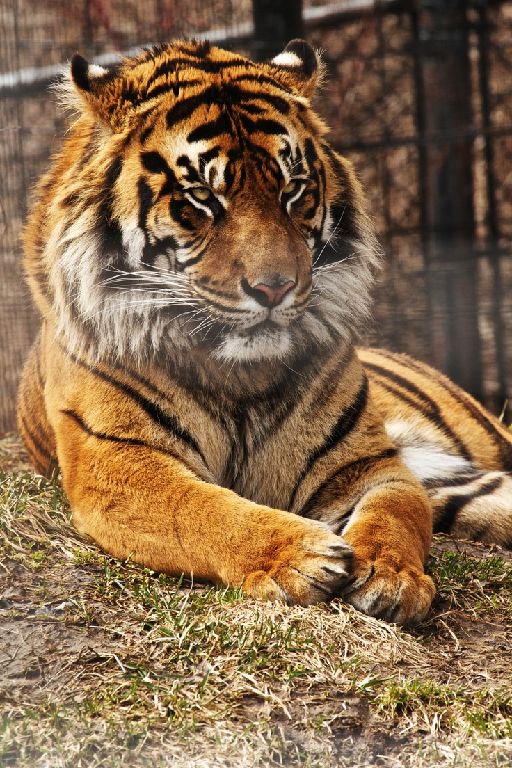 characteristics of the bengal tiger