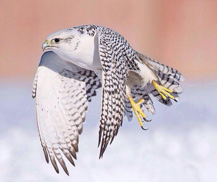 pure white falcon bird horseshoe magnet clipart black and white Horseshoe Clip Art