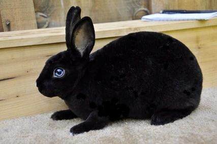 Black with blue eyes  Vienna gene Black Mini Rex Rabbits