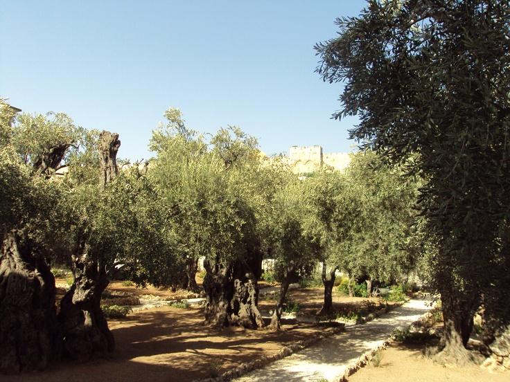 Mount of olives travels past present and future pinterest for Age olive trees garden gethsemane