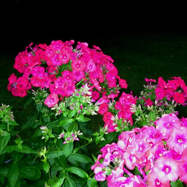 butterfly bush gardening ideas pinterest