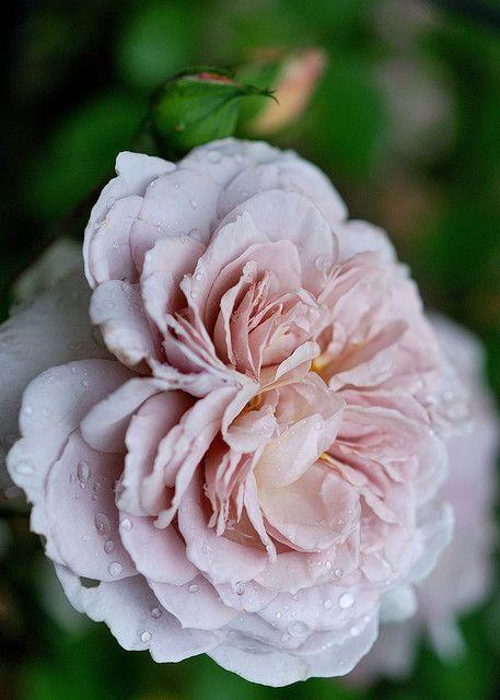 Hybrid Tea Rose 'Grey Pearl'