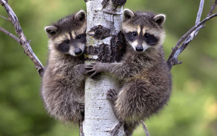 A pair of raccoon babies clinging to a tree in the Rocky Mountains, Montana Picture: Tim Fitzharris/Minden/Solent