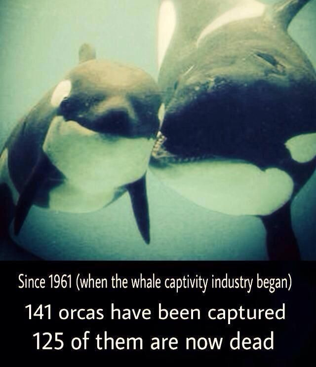 Why killer whales should not be kept in captivity