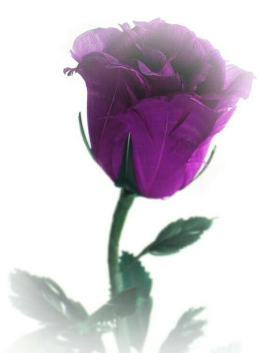 beautiful single purple rose natural purple wonders