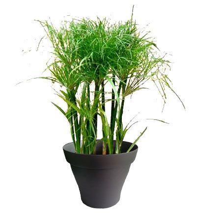 Papyrus avec cache pot noir plantes d 39 int rieur avec for Cache pot interieur