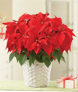 1800flowers poinsettia
