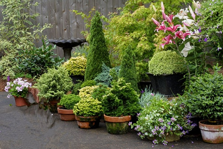dwarf conifers in pots container gardens pinterest